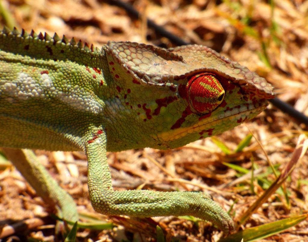 Camaleonte del Madagascar
