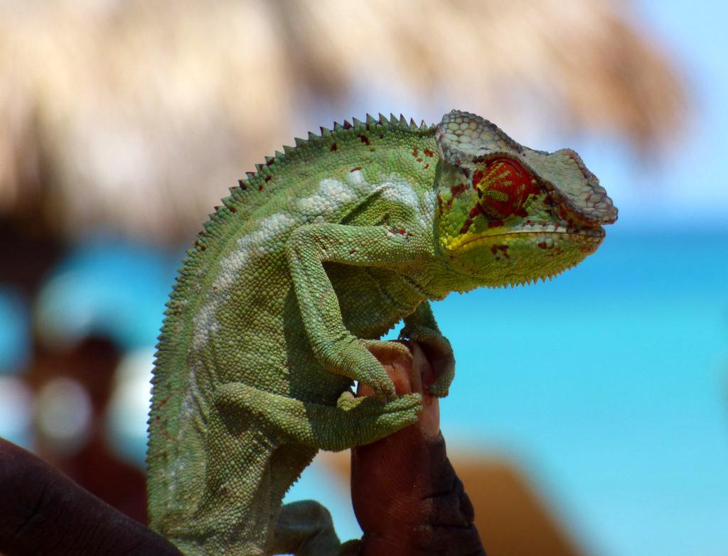 Camaleonte del Madagasccar