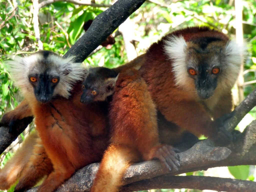 Lemuri curiosi